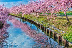 笠松河津桜ロード(松阪市)